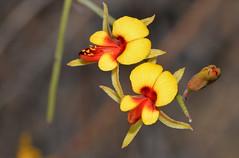 Jacksonia racemosa