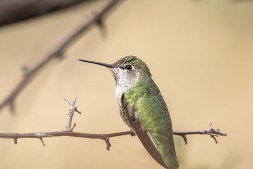 Vibrant Anna's Hummingbird
