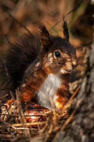 Esquilo-vermelho | Eurasian red squirrel (Sciurus vulgaris)
