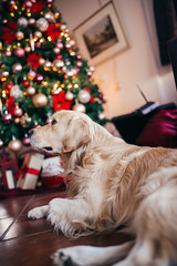 Dog relaxing in front of a Christmas tree