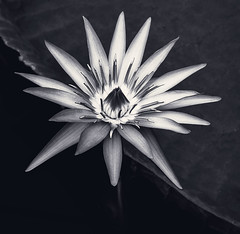 Victoria Water Lily