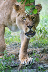 Unfriendly lioness walking with open mouth