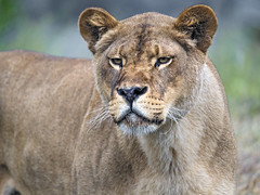 Closeup of the lioness standing