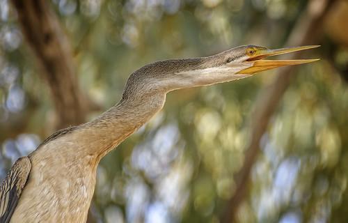 alice river - ♀ australasian darter