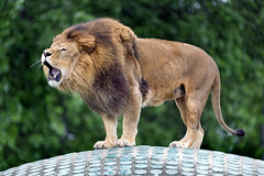Male lion roaring on the dome
