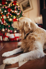 Family dog in front of a Christmas tree
