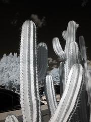 Cacti (0390)