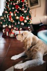 Familienhund vor dem Weihnachtsbaum