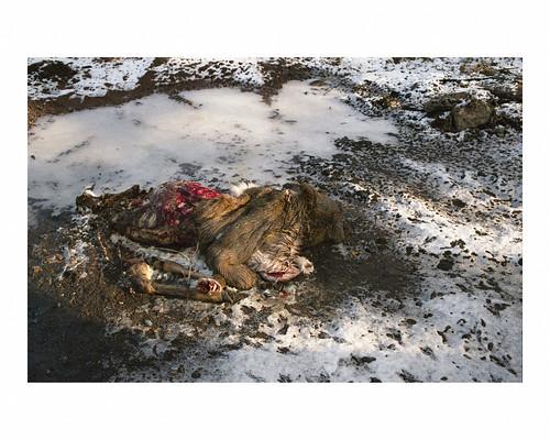 Body of a whitetail deer alongside BNSF railroad tracks