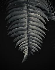 Fern Study, Forest of Nisene Marks
