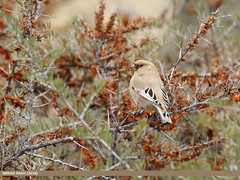 Desert Finch (Rhodospiza obsoleta)