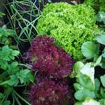 Frilly lettuce