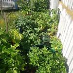 Various taewa in grow bags