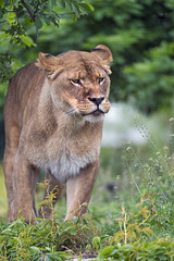 Lioness standing in the grass