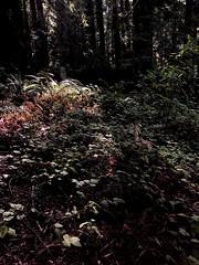 Forest Floor, Forest of Nisene Marks