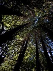 Lazenby Memorial Grove, Forest of Nisene Marks