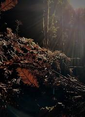 Leaf Litter, Forest of Nisene Marks