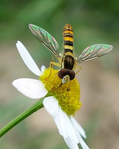 Sphaerophoria scripta - Sphaerophoria (Syrphidae)