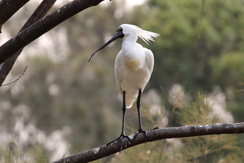 Royal Spoonbill at Forest Grove