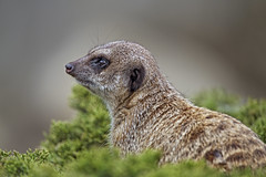 Profile of a meerkat in the bush
