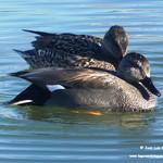 Aves en las lagunas de La Guardia (Toledo) 29-12-2019