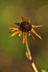 Rudbeckia in Winter Sun