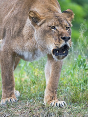 Lioness walking with open mouth