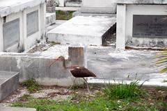 white ibis Eudocimus albus