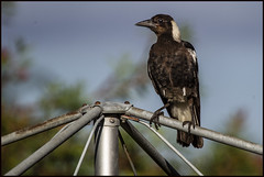 Young magpie eats bread and honey with parrots=