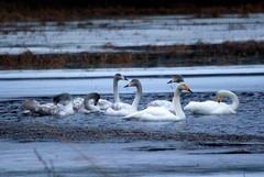 Swan familie