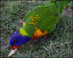 Rainbow Lorrikeet eating bread and honey-3=