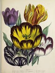 Tulip flowers (1841)