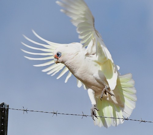 Parrots - Corella - Little
