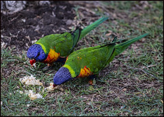 Rainbow Lorrikeet eating bread and honey-7=