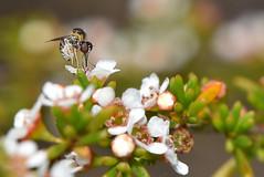 Mythicomyiidae - Micro Bee fly standing tall