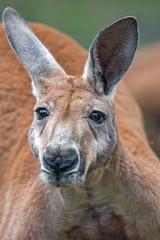 Close big kangaroo