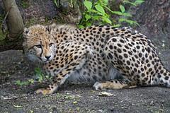 Young cheetah looking a bit afraid
