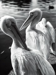 A Pair of Pelicans