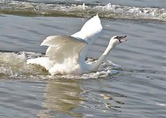 Tundra Swan 2019-116