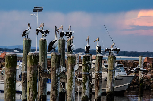10 Pelicans on Posts (and one in the air)