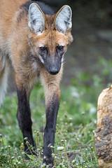 Maned wolf, walking his way...