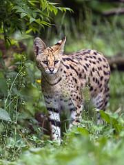 Serval in the vegetation