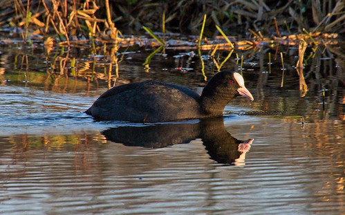 Doubled Coot