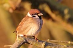 Sparrows and Dunnucks