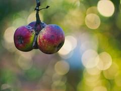 Garden Apple Bokeh | 30. Dezember 2019 | Tarbek - Schleswig-Holstein - Deutschland