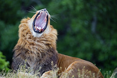 Male lion yawning wide