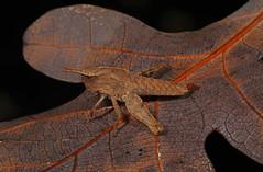 Northern Green-striped Grasshopper - Chortophaga viridifasciata viridifasciata, Meadowood SRMA, Mason Neck, Virginia