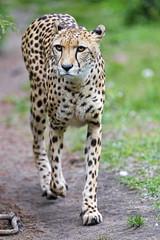 Mother cheetah walkin on the way