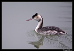 Grèbe huppé (Podiceps cristatus) - Photo of Ahuy