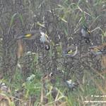Aves en las lagunas de La Guardia (Toledo) 31-12-2019